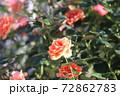 色鮮やかなバラの花 72862783