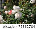 白いバラ 72862784