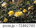 黄色のバラ 72862785