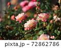 色鮮やかなバラの花 72862786