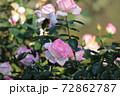 バラの花 72862787