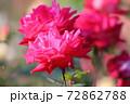 色鮮やかなバラの花 72862788