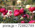 色鮮やかなバラの花 72862789