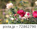 色鮮やかなバラの花 72862790