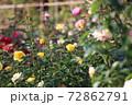 色鮮やかなバラの花 72862791