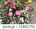 色鮮やかなバラの花 72862792