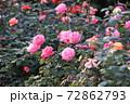 色鮮やかなバラの花 72862793