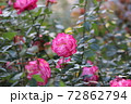 バラの花 72862794