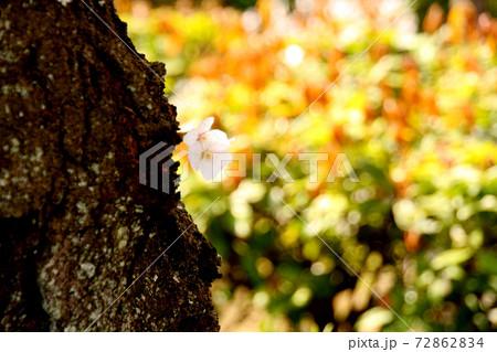木の幹にポツンと咲いた一輪の花② 72862834
