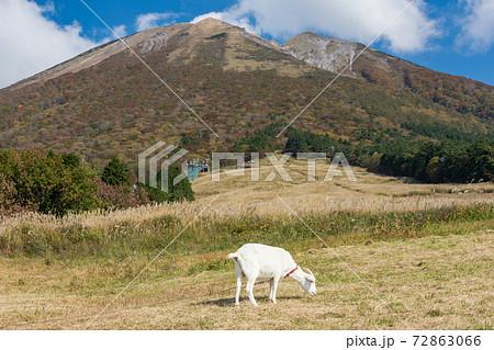 爽やかな秋の鳥取県大山 枡水高原で遊ぶヤギ 72863066