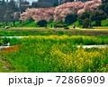 賀茂川対岸の桜と此岸の菜の花 72866909