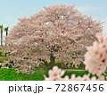 賀茂川で、対岸に焦点を合わせつつ、対岸の桜と此岸の桜を対比する 72867456