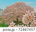 賀茂川で、手前に焦点を合わせつつ、対岸の桜と此岸の桜を対比する 72867457