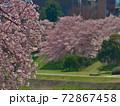 賀茂川で対岸の桜と此岸の桜を対比する~焦点は手前 72867458