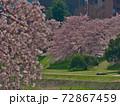 賀茂川で対岸の桜と此岸の桜を対比する~焦点は対岸 72867459