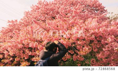 伊豆河津町の満開の河津桜を撮る人 72868568
