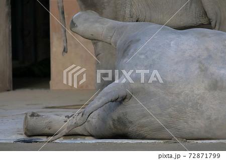 寝そべり足を上げる小象(ゾウ 東山動植物園 愛知県名古屋市) 72871799