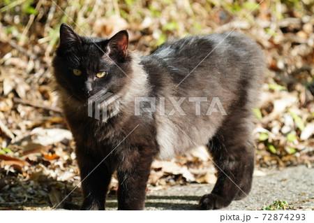 朝陽を浴びて高級ブランド品の様な綺麗な毛並みが輝く若い野良猫 72874293