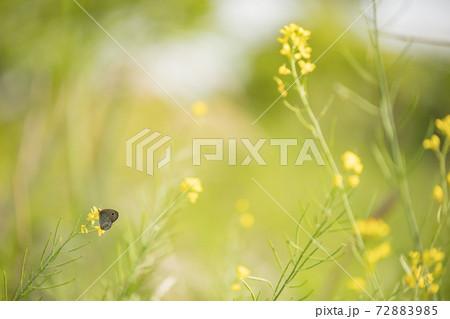 春の朝の川辺の菜の花にとまるシジミチョウ 72883985