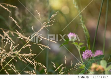 ムラサキツメクサと枯草のイメージ 72884407