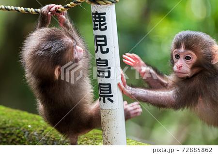 遊ぶヤクザルの子どもたち。世界自然遺産屋久島 72885862