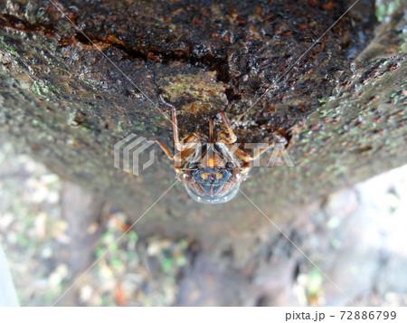 木の幹に口を差し込み樹液を吸うアブラゼミ 72886799