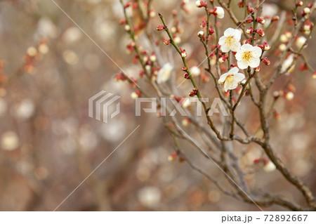 早春賦、白梅-暖かくなり始めた頃に咲く白梅風景 72892667