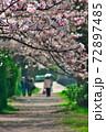 賀茂川の桜並木の遊歩道、ピントは手前の望遠で。 72897485
