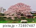 賀茂川で対岸から桜の大木を撮る 72897487