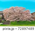 賀茂川で対岸から、青空を背景に桜の大木を撮る 72897489
