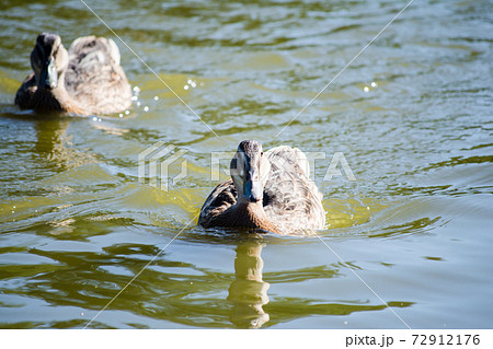 池を泳いで進むガチョウ 72912176