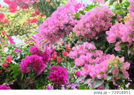 可愛いピンク色のブーゲンビリアの花束 72918951
