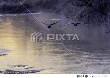 朝日で輝く雪裡川から飛び立つタンチョウ 72920890
