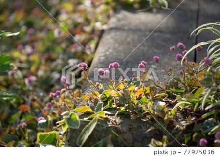 道端に咲くピンク色のヒメツルソバ 72925036