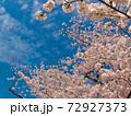 まん丸の房状に花を咲かせる賀茂川の桜の満開と青空 72927373
