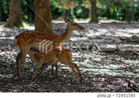 奈良の飛火野の森に生息する鹿の親子 72931585