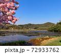 京都・深泥池と満開の桜 72933762