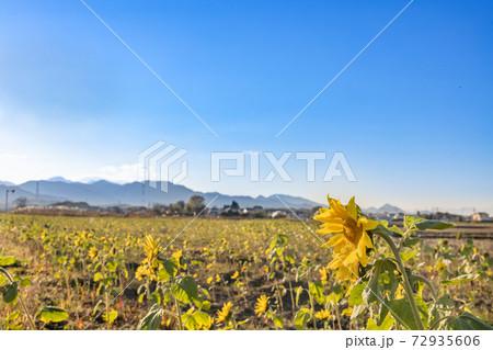 夕暮れの空と山とひまわりが咲く畑 72935606