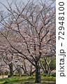 姫路城の桜 72948100