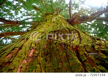 桑平の大杉、里山の鎮守の森の中にある巨大な杉の木・四国・徳島県つるぎ町(10) 72957149
