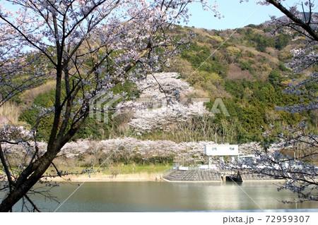 つくし湖畔手前の桜越しに向こう岸の桜並木 72959307