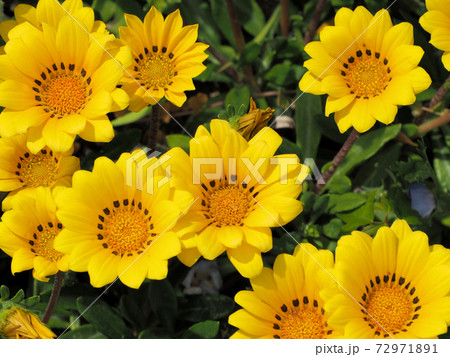 JR水城駅への小道にある花壇に咲く黄色いガザニア 72971891