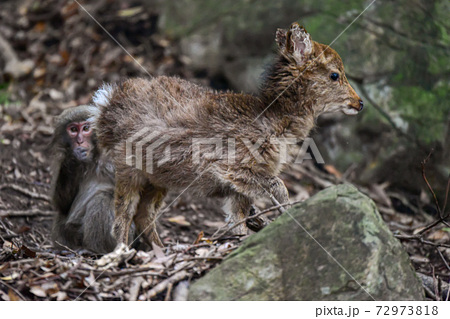 ぬいぐるみのようなヤクシカの子ども。世界自然遺産屋久島の森 72973818