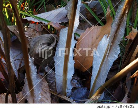 寒い朝、シソ科の多年草シモバシラの茎にできた氷の花(霜柱) 72974805