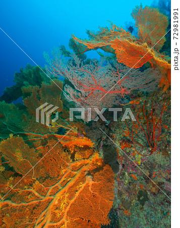 ウチワヒラヤギの群生地 (シミラン諸島、タイ王国) 72981991