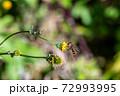 センダングサの花粉を舐めるナミホシヒラタアブ 11月 72993995