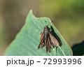 翅がボロボロになったイチモンジセセリ 11月 72993996