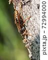 木の幹につかまるセグロアシナガバチ 11月 72994000