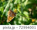 野花の蜜を吸うキタテハ 11月 72994001