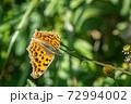 野花の蜜を吸うキタテハ 11月 72994002